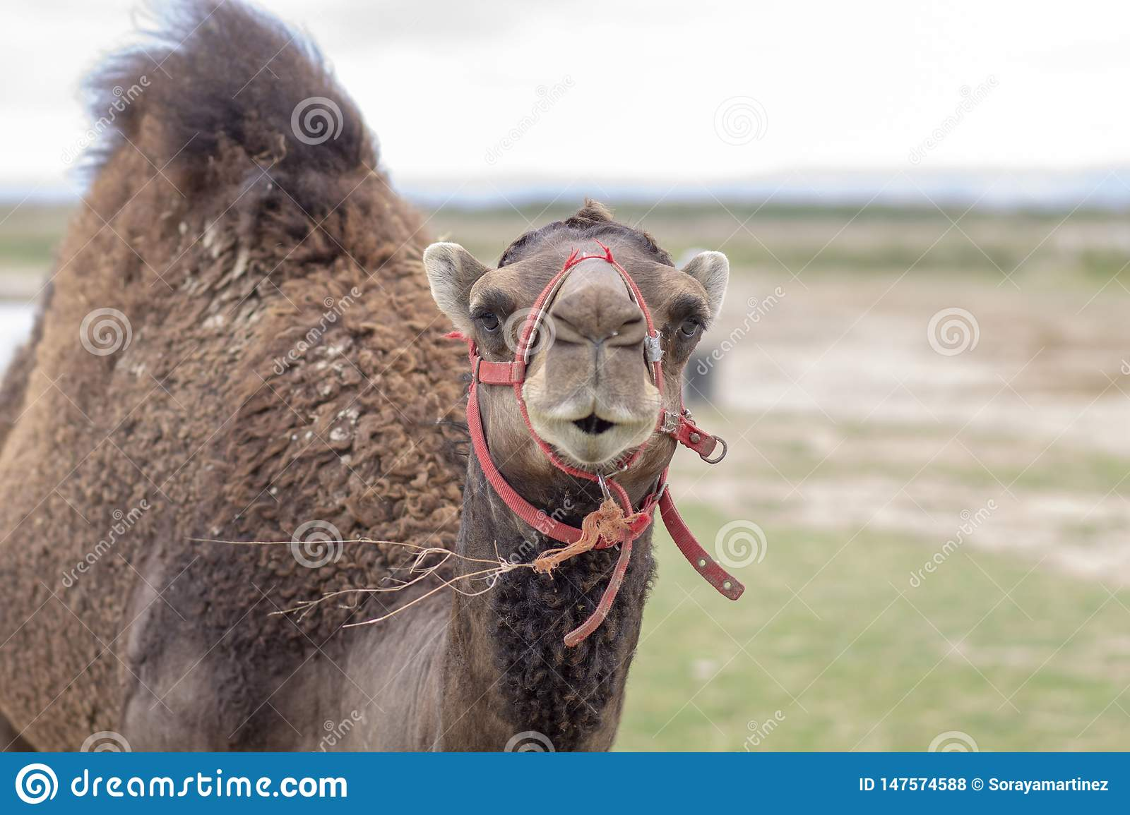 Portrait of a nice camel