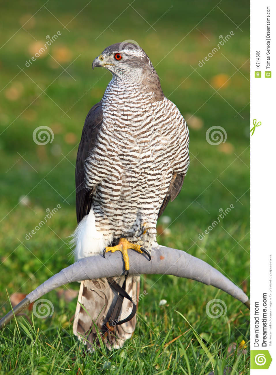 The portrait of Northern Goshawk