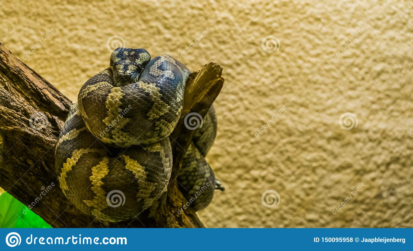 Portrait of a northwestern carpet python coiled up on a tree branch, tropical reptile from Australia