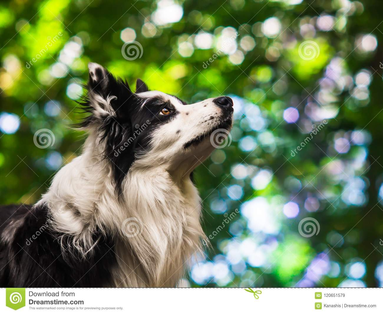 Portrait of an obedient black and white border collie, head shot