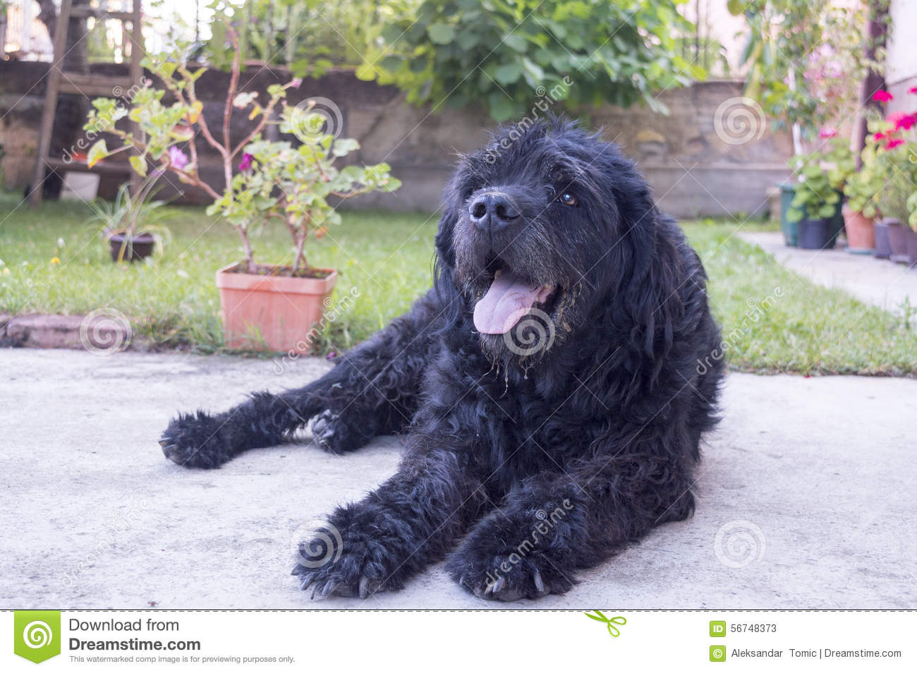 portrait of an old black dog in the backyard stock photo image