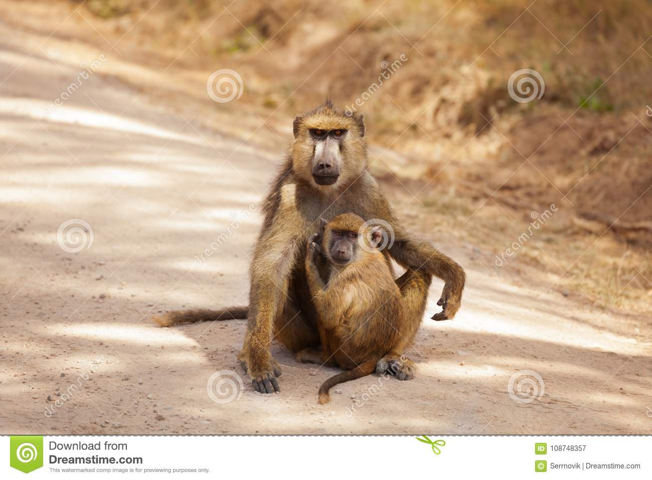 Olive Baboon mother with baby at African savannah
