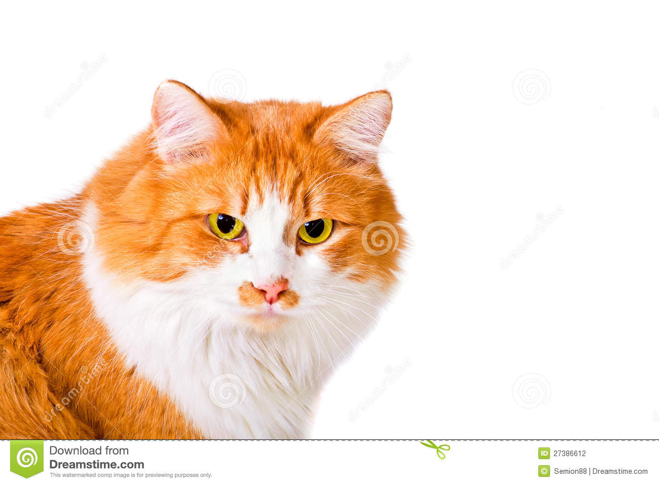fluffy white and orange cats - photo #12