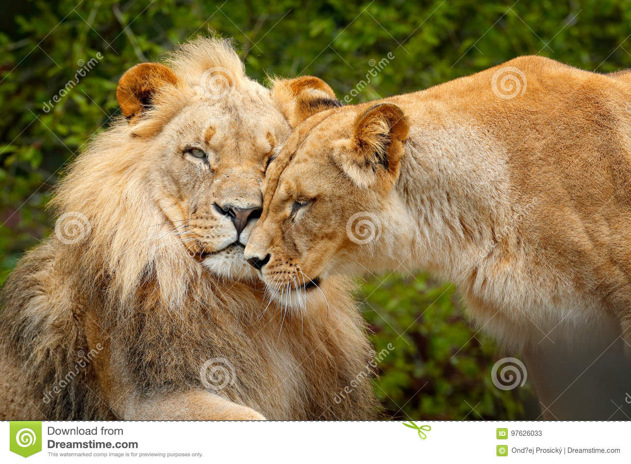 Portrait of pair of African lions, Panthera leo, detail of big animal, evening sun, Chobe National Park, Botswana, Africa. Cat in