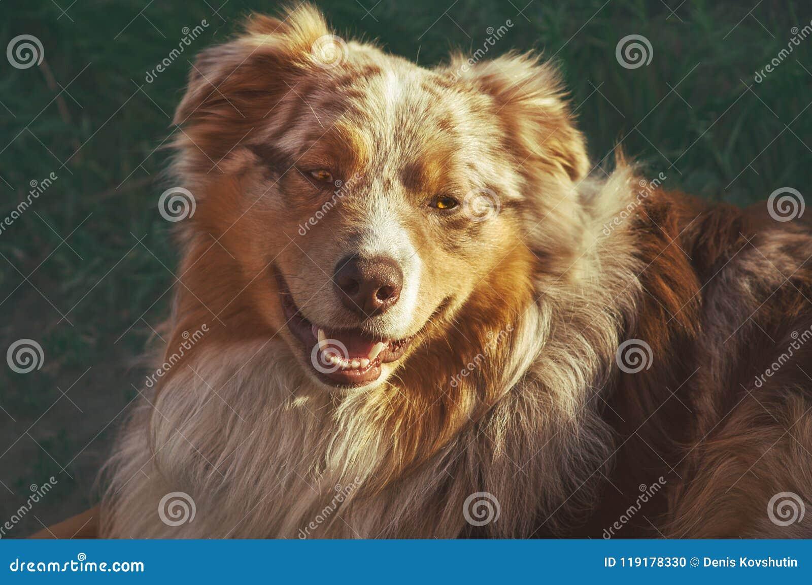 Portrait of a pedigree stately dog happy smiling Australian Shepherd purebred Aussie walks in the park