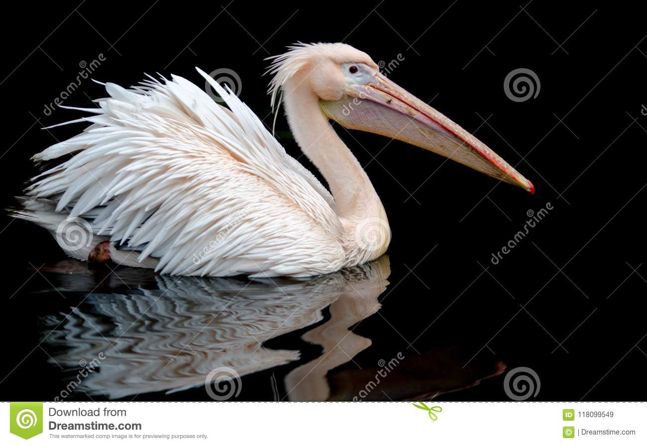 A portrait of a pelican swimming set against a black background, wth a reflection on the rippling water underneath.