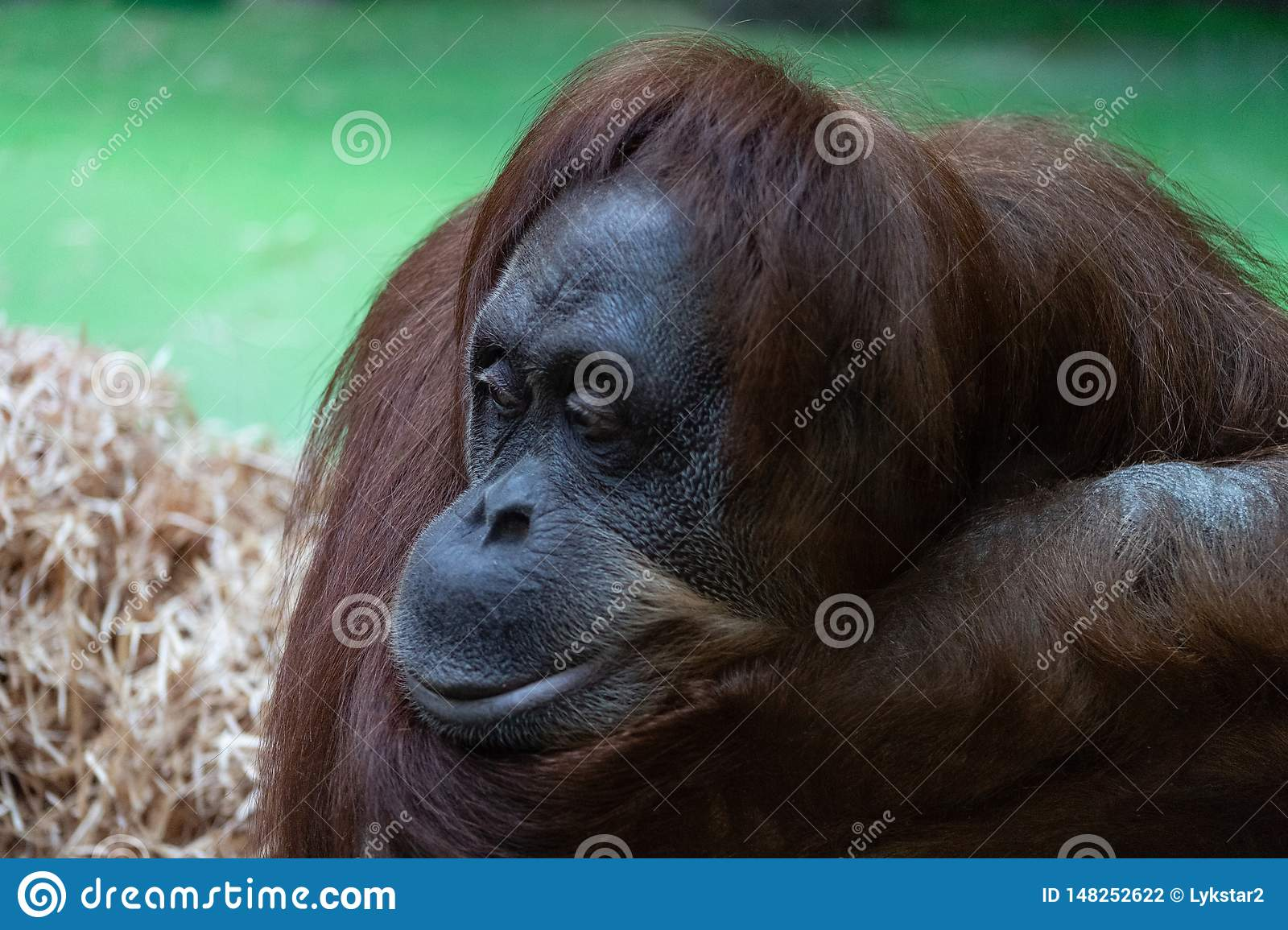Portrait of a pensive orange orangutan with a funny face lazily watching what is happening