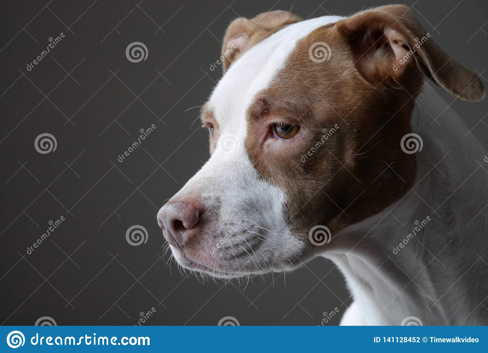 Portrait of Pit Bull Dog Looking Out Window