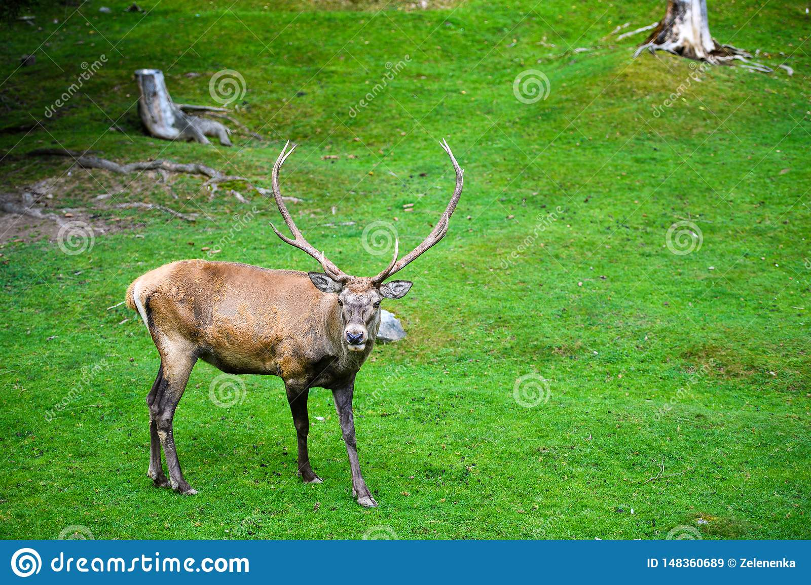 Portrait of powerful adult red deer stag in Autumn Fall forest