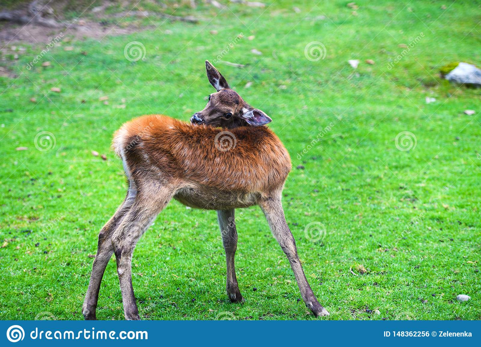 Portrait of powerful young red deer stag in Autumn Fall forest