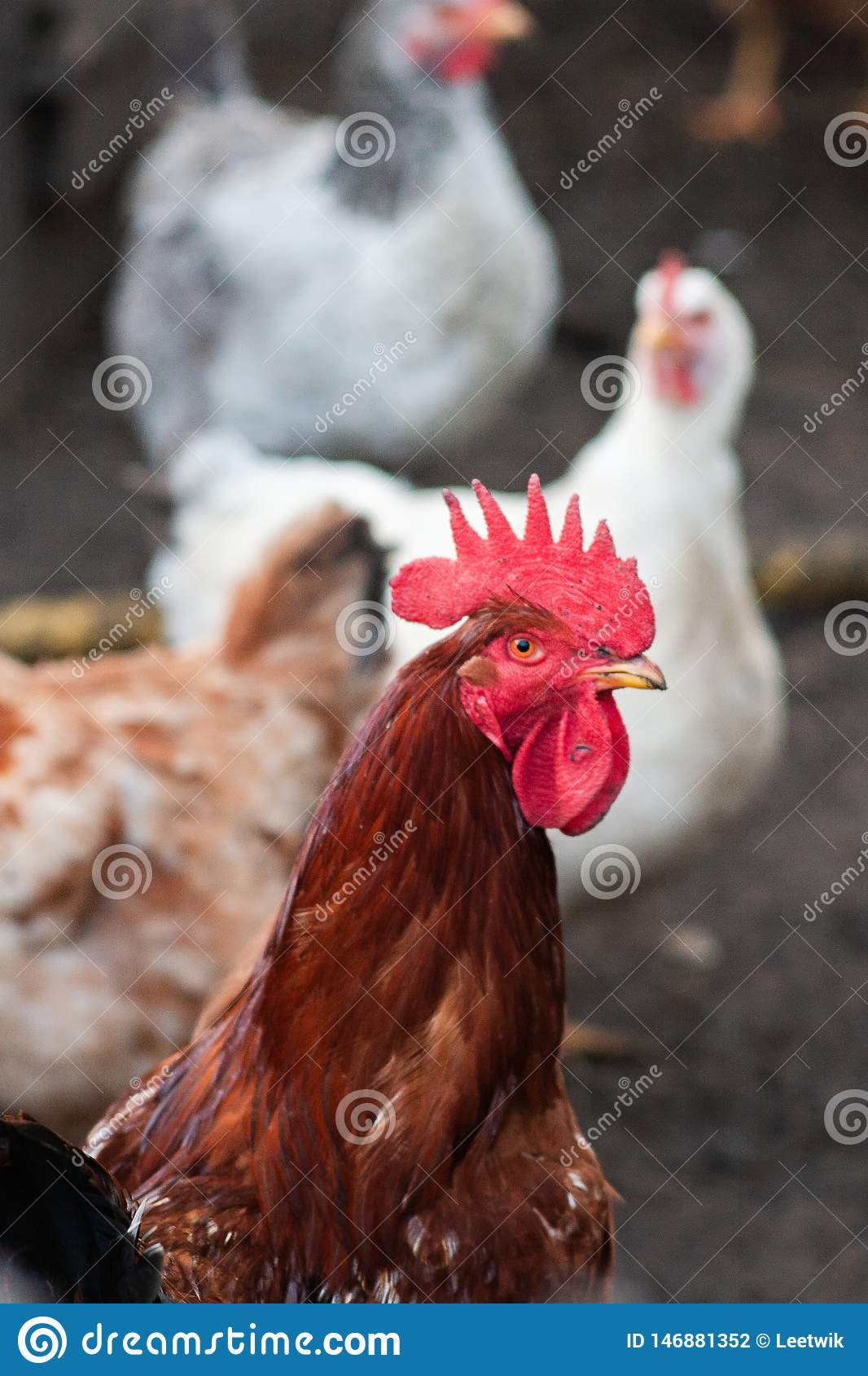 Portrait pproud red rooster close up