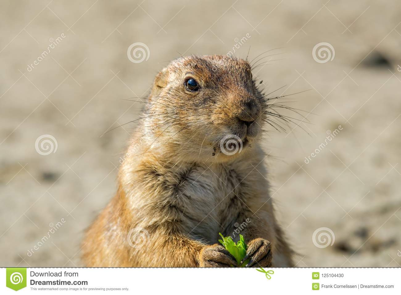 Portrait of a prairie dog with a green leaf between his front pa