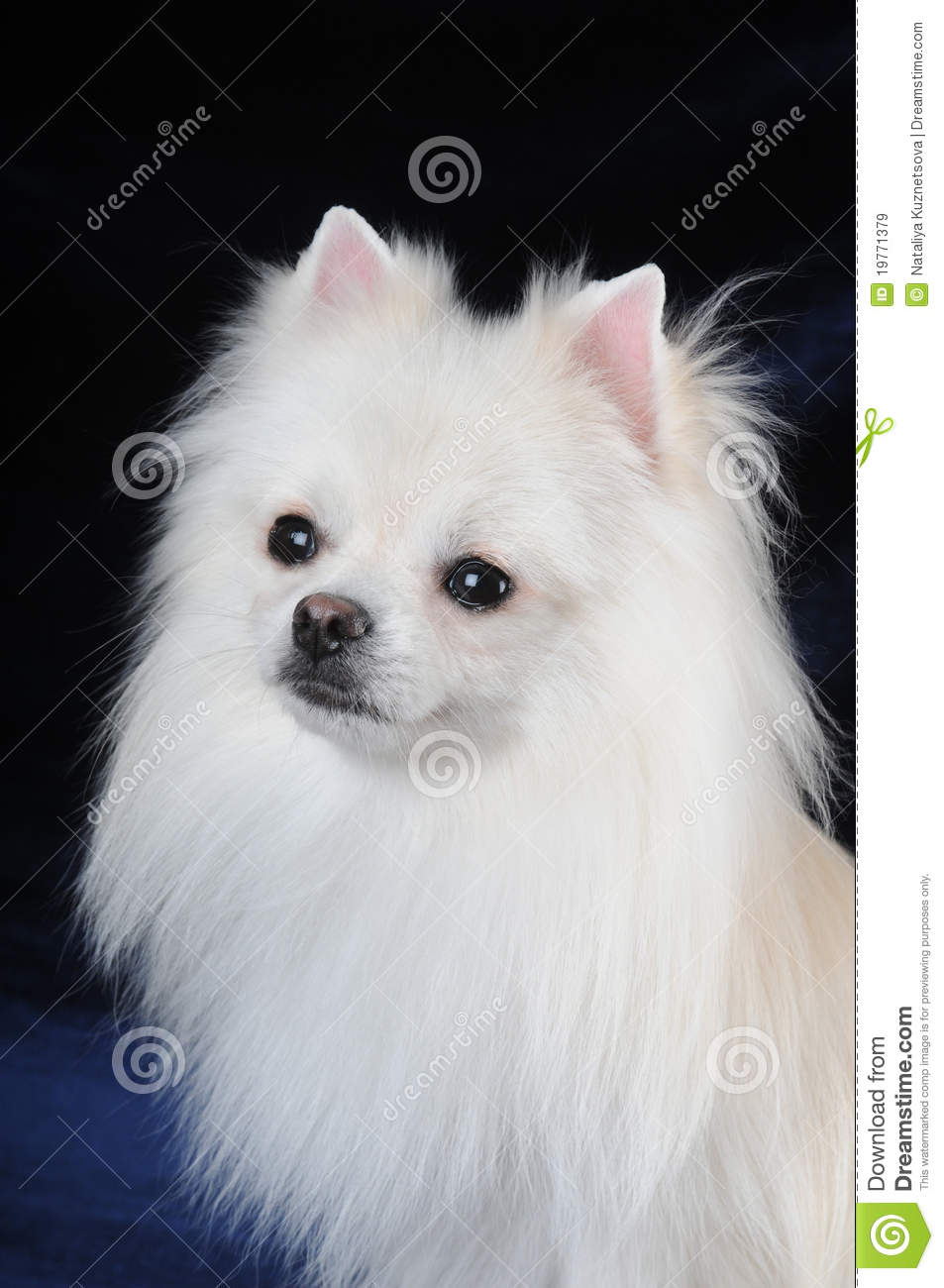 Portrait Of Pretty White Lap Dog Royalty Free Stock Images