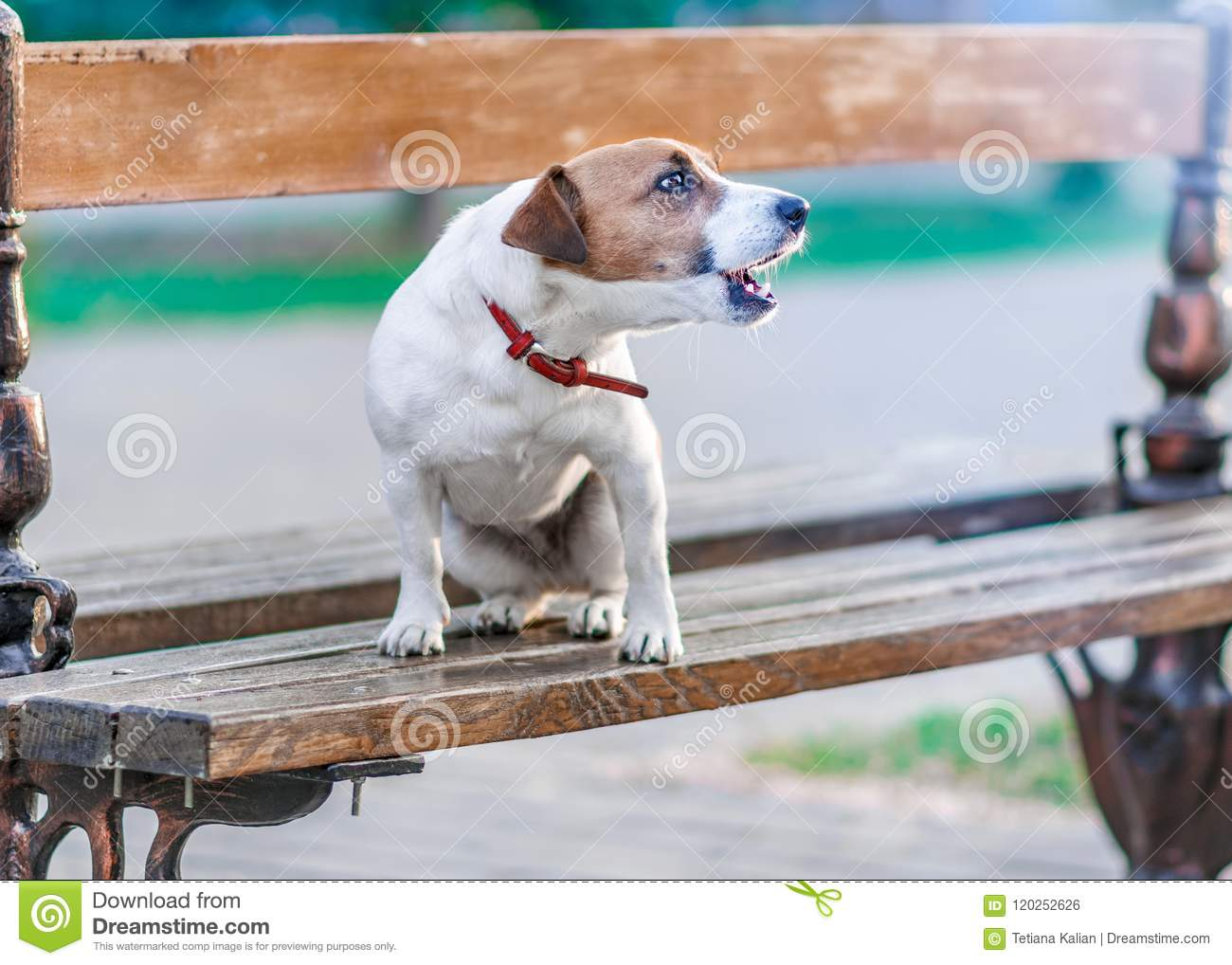 Download Portrait In Profile Of Cute Small Dog Jack Russel Terrier Sitting On Wooden Park Bench And Barking At Summer Sunny Day. Stock Photo - Image of puppy, face: 120252626