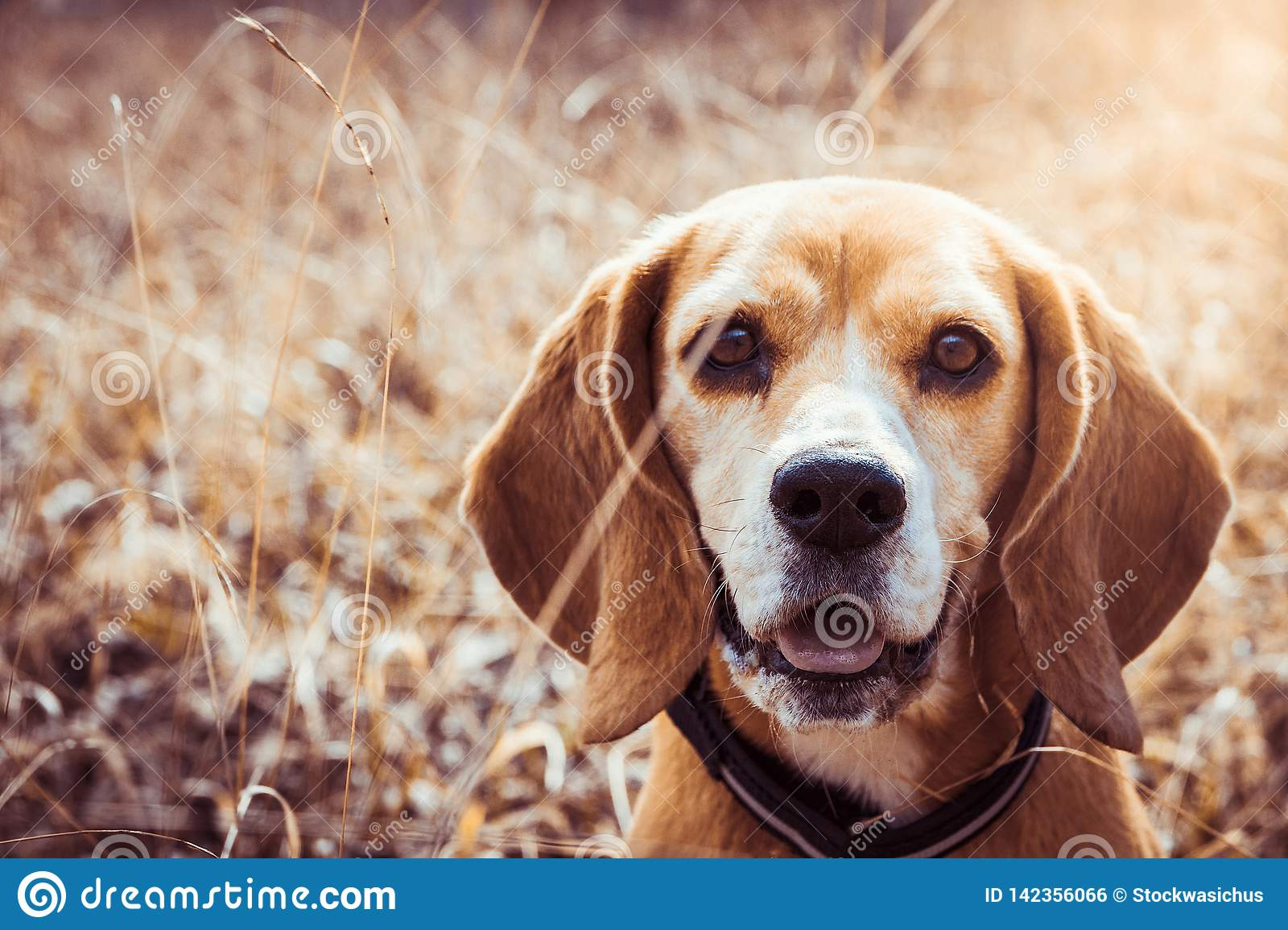 Portrait of pure breed beagle dog. Beagle close up face smiling. Happy dog