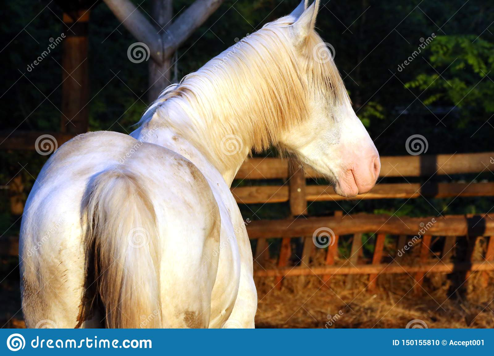 Extreme Closeup Of Beautiful Young Grey Colored Arabian Mare Against Natural Background At Sunset Golden Hour Stock Photo Image Of Animal Horse 150155810