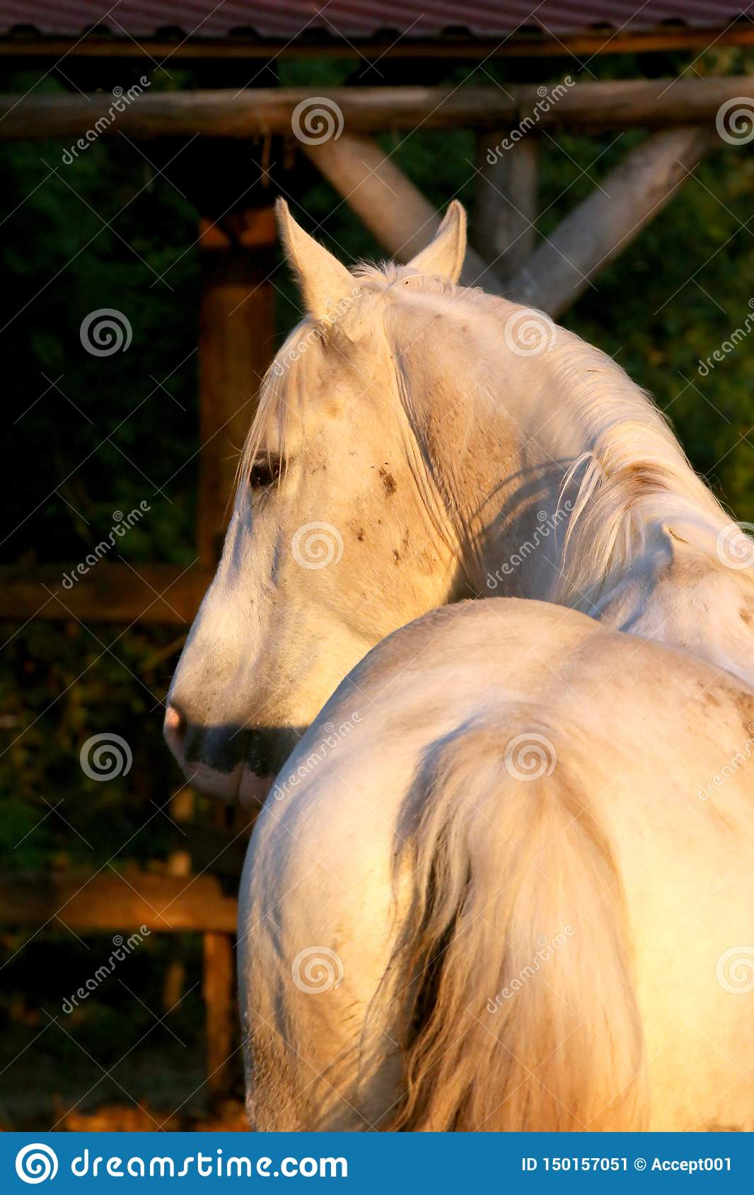 Portrait Of A Purebred Gray Arabian Stallion Closeup Of A Young Purebred Horse Purebred Young Shagya Arabian Horse Posing At Stock Image Image Of Farming Animal 150157051