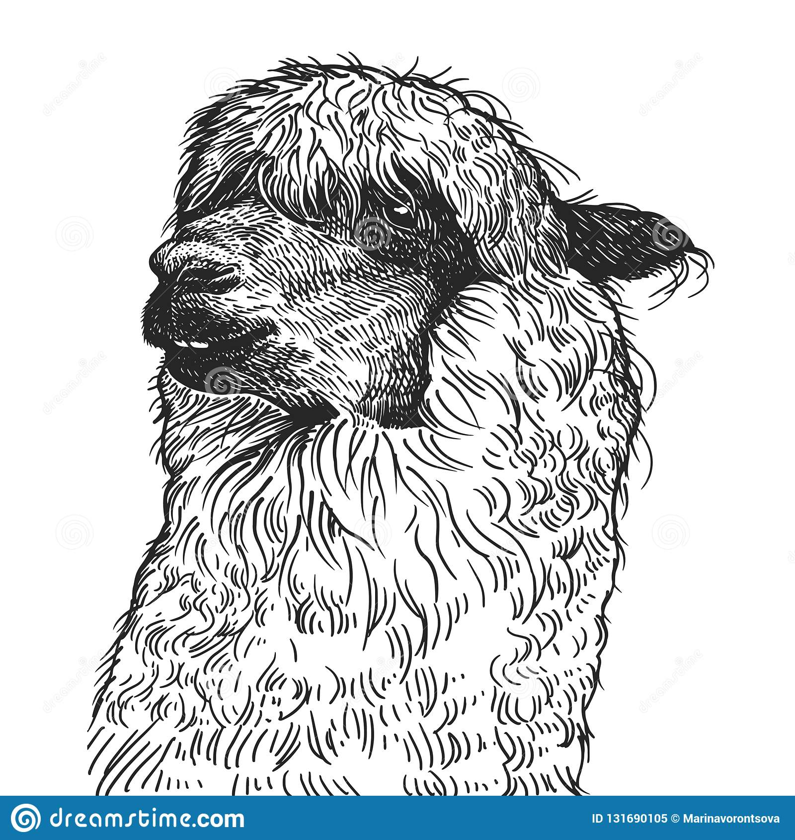 Portrait Réaliste De Lama Animal Sud Américain Gravure De