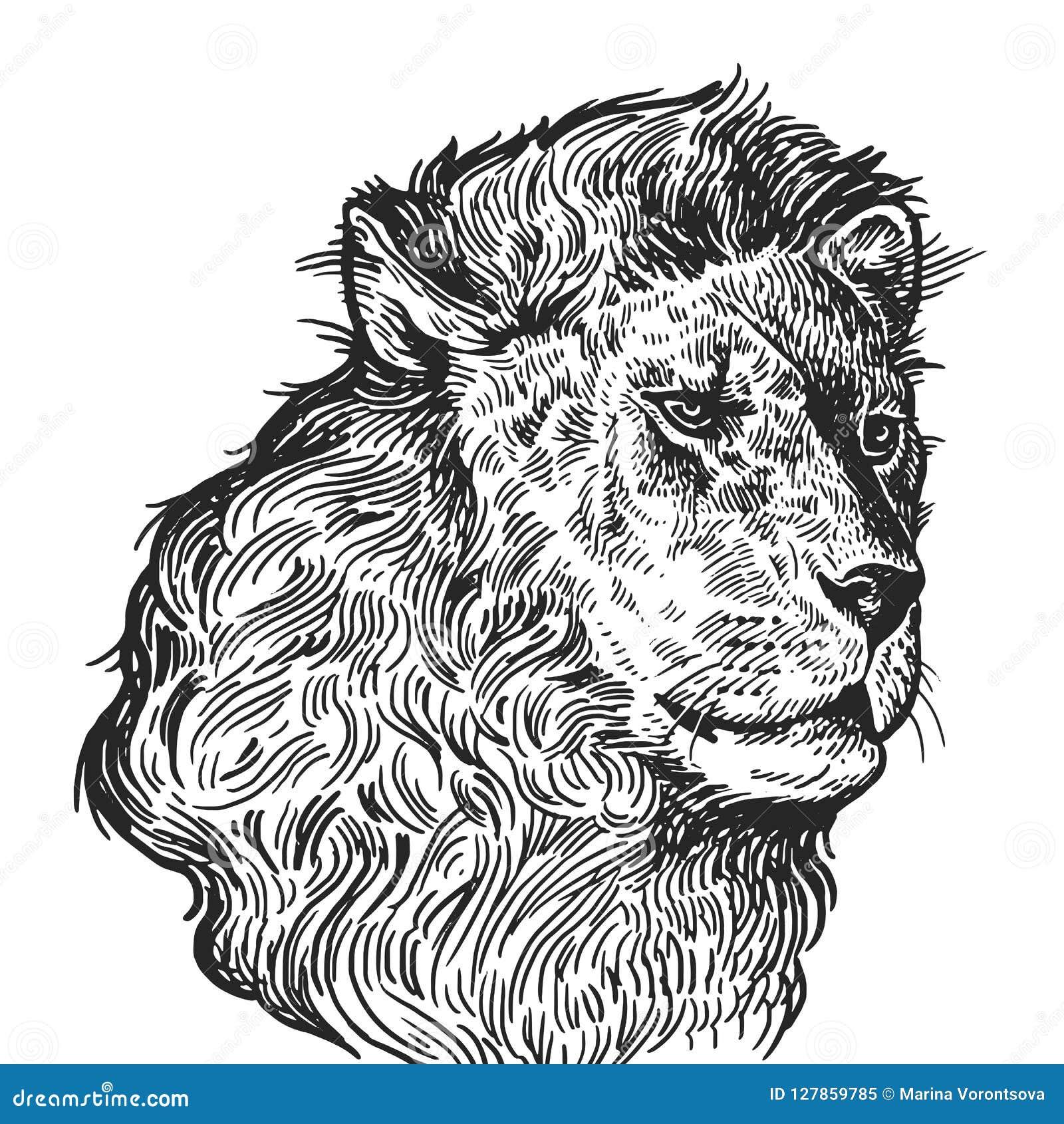 Portrait Realiste De Lion Animal Africain Gravure De Vintage Bl
