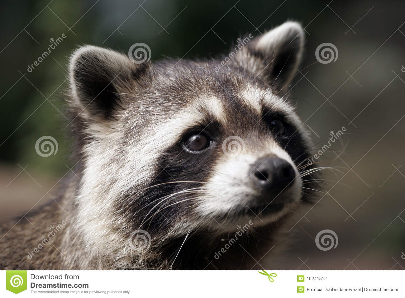 trapped raccoon stock photo image 46412847