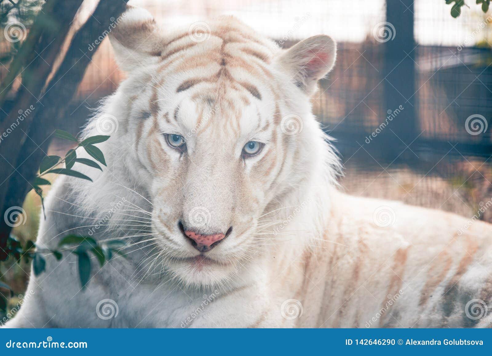 White tiger portrait.
