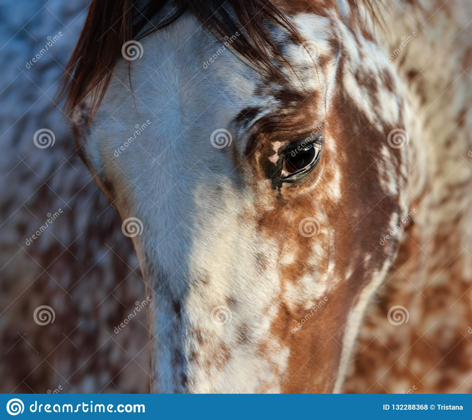 Portrait Of Rare Mixed Breed Of Spanish And Appaloosa Horse Stock Photo Image Of Head Breed 132288368