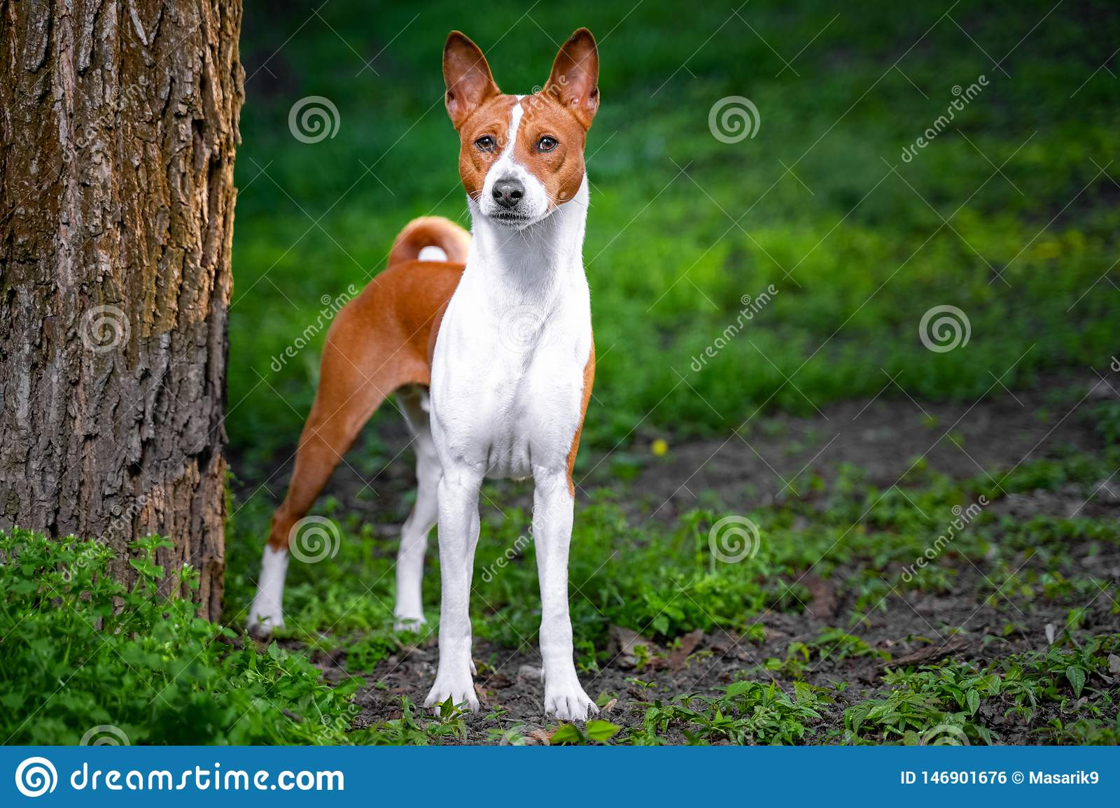 Portrait of a red basenji standing between the trees in a summer forest on the Sunset. Basenji Kongo Terrier Dog