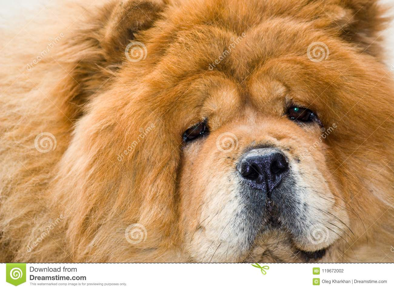 Portrait Of A Dog Breed Chow Chow Stock Photo Image Of Outdoor Head 119672002