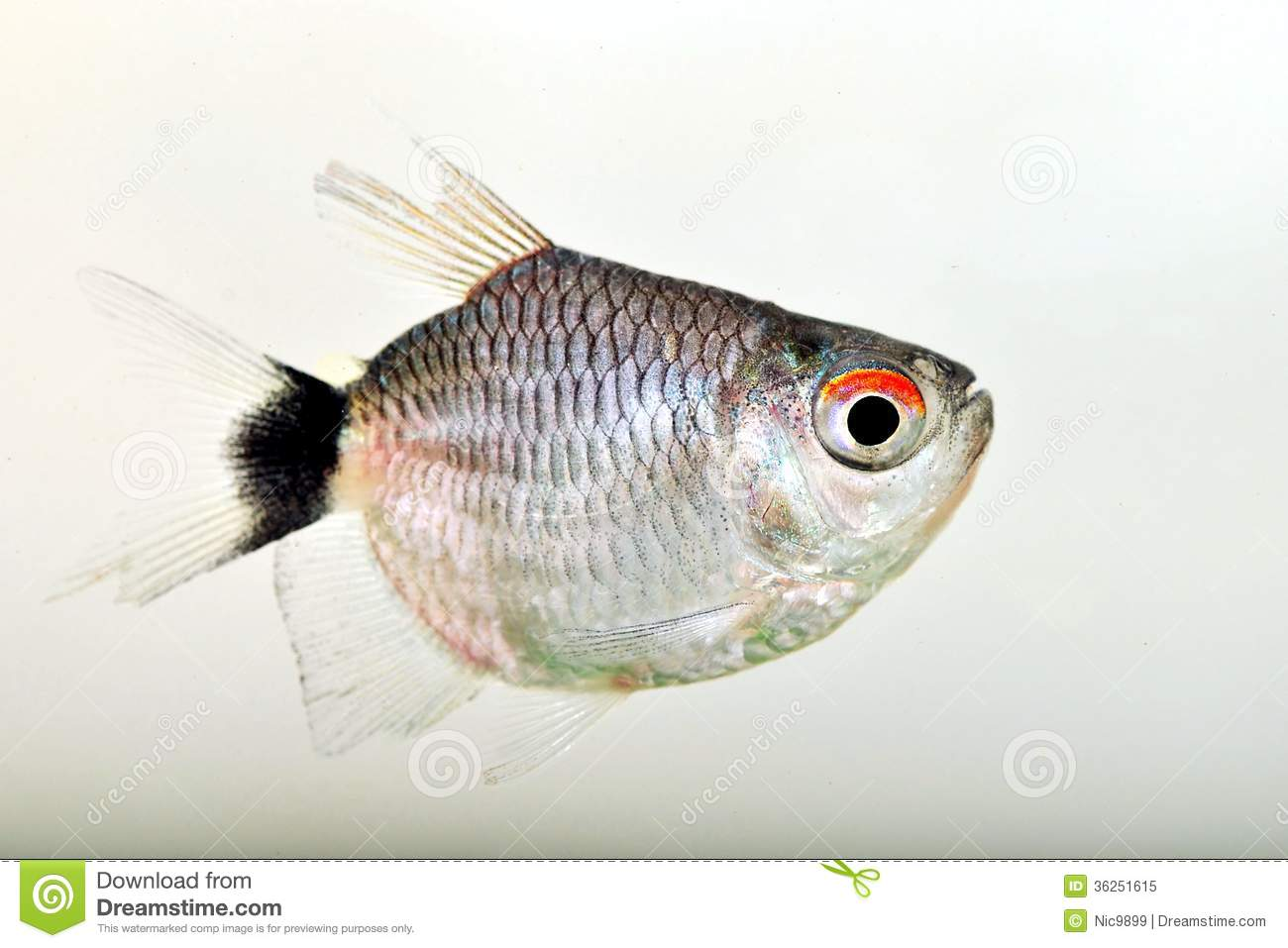 Portrait Of Red Eye Tetra Royalty Free Stock Photo - Image: 36251615