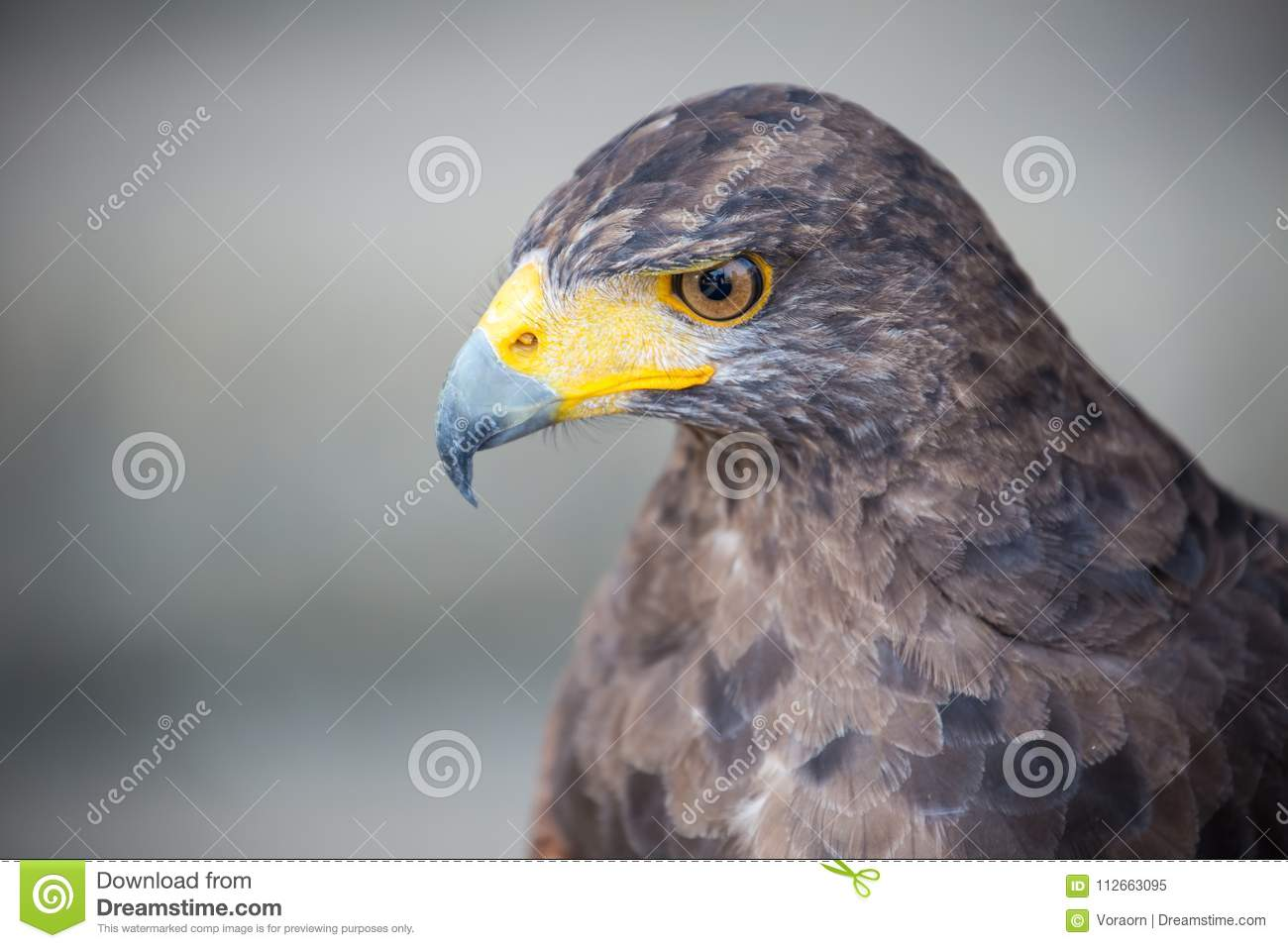 Hawk stock image  Image of beak, jamaicensis, nature - 112663095