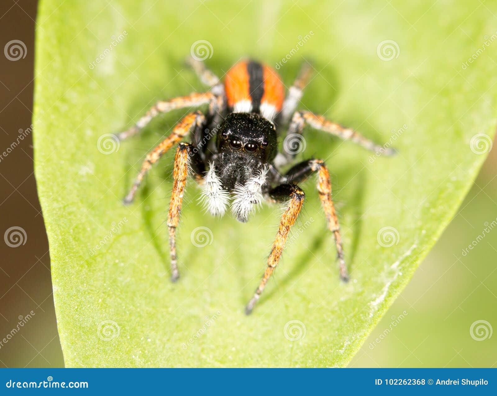 Portrait of red spider jumper