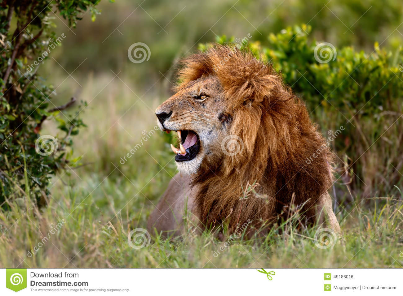 Hd wallpaper portrait - Blue Lion Roaring Pictures To Pin On Pinterest Pinsdaddy