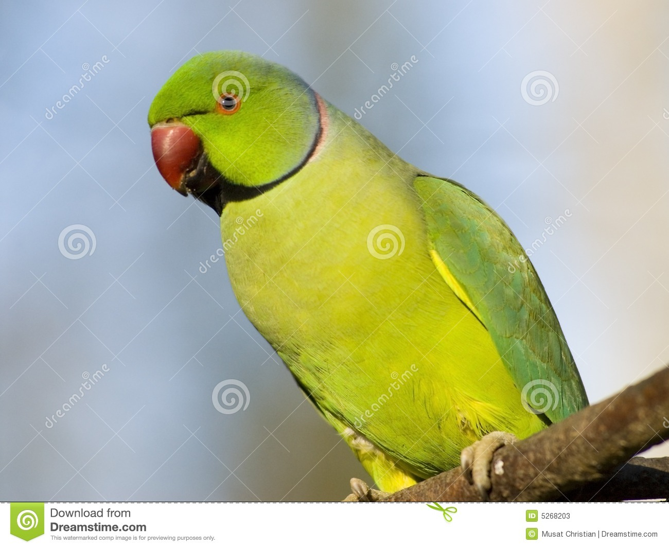 Portrait Rose-ringed Parakeet