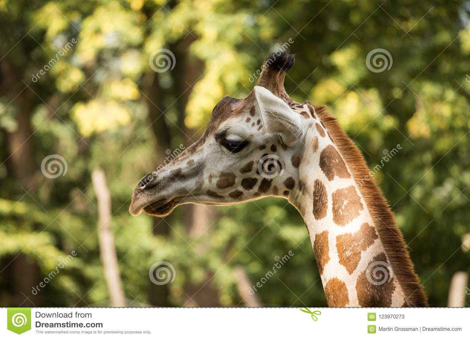 Portrait Of Rothschild S Giraffe Giraffa Camelopardalis Rothschildi