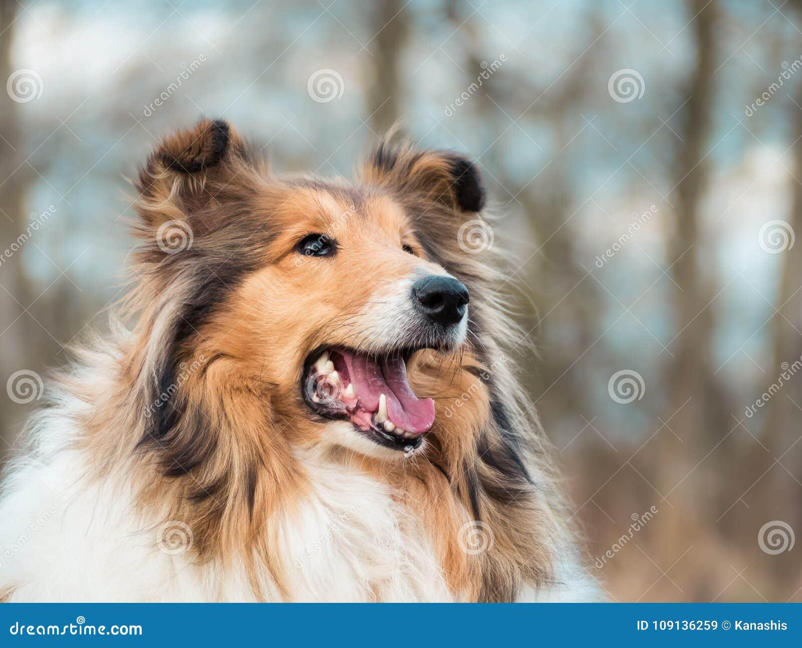 Portrait of a rough collie