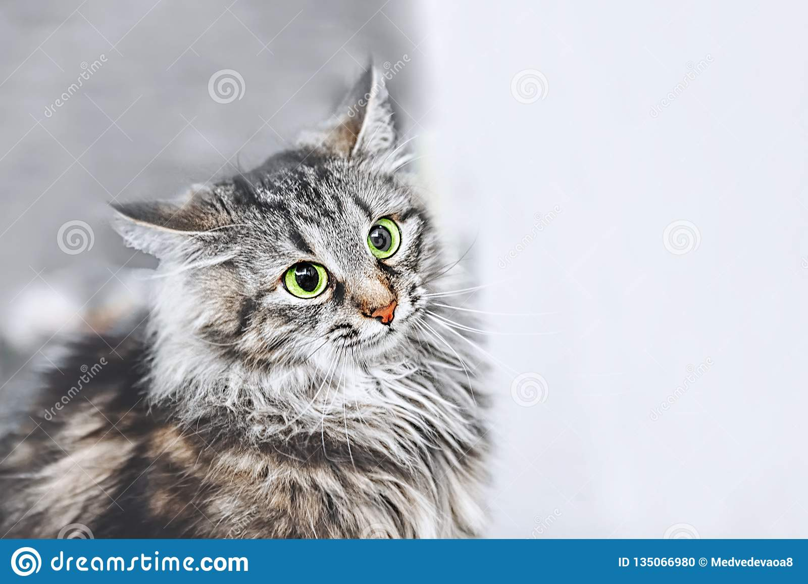 A portrait of the Russian Siberian cats. Cat attacks. Close up. Copy space