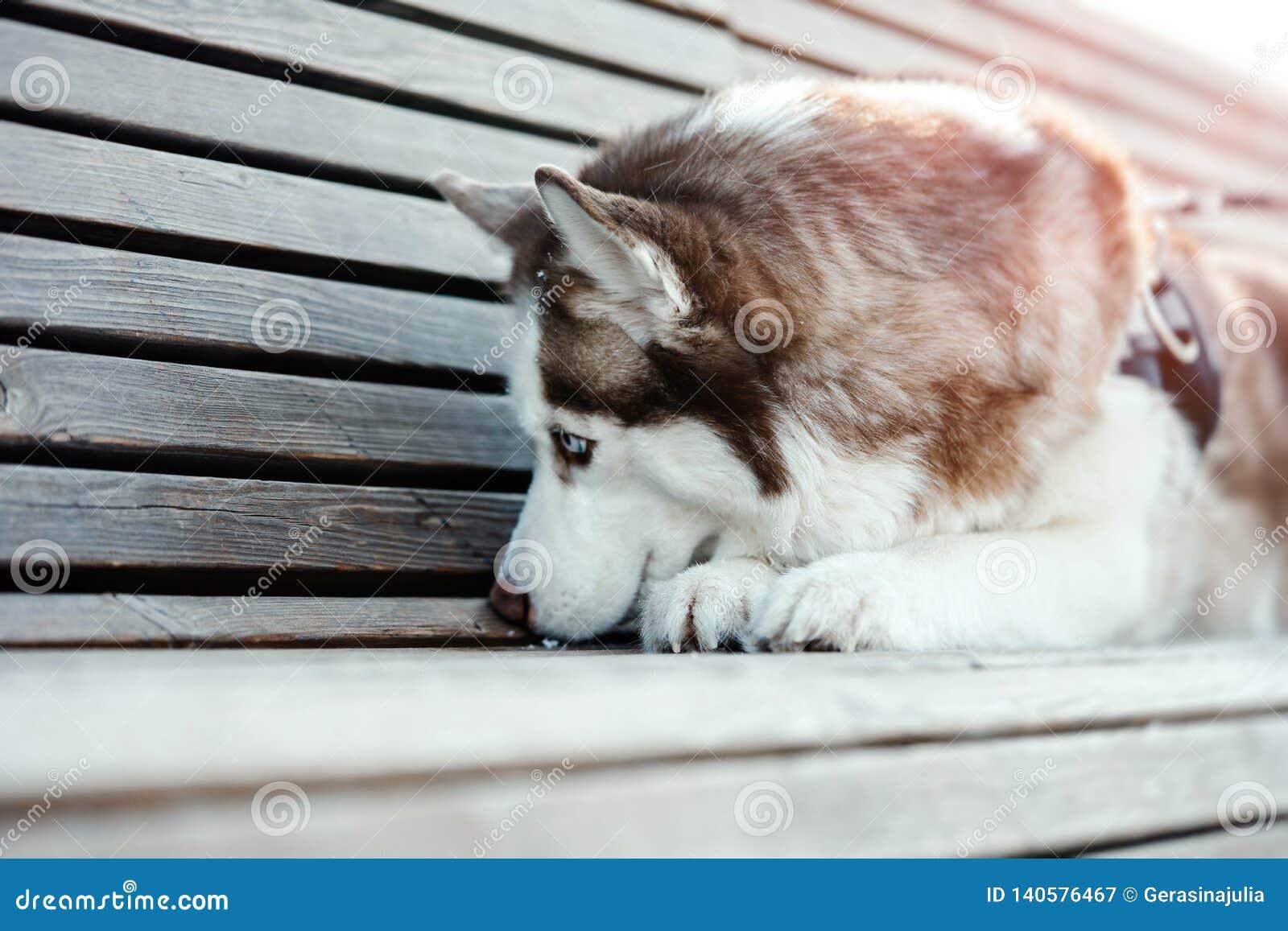 Portrait of sad cute Siberian Husky dog on a walk. Dog Lost his owner