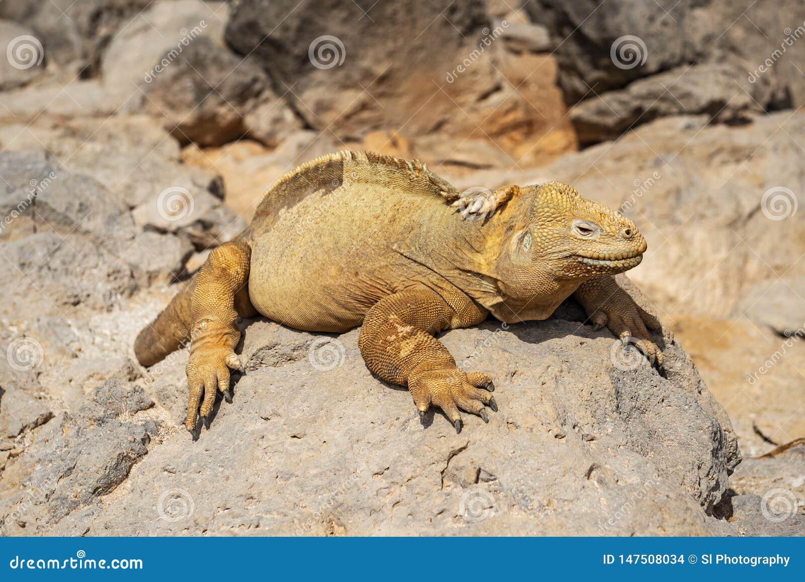 Santa Fe Land Iguana In The Sun Galapagos Ecuador Stock