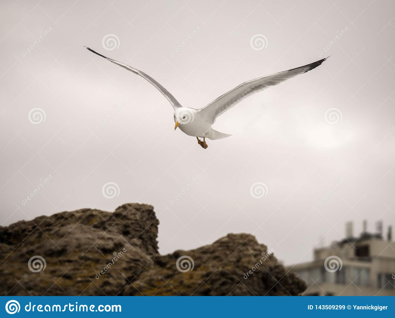 Portrait of seagull flying and looking towards the camera