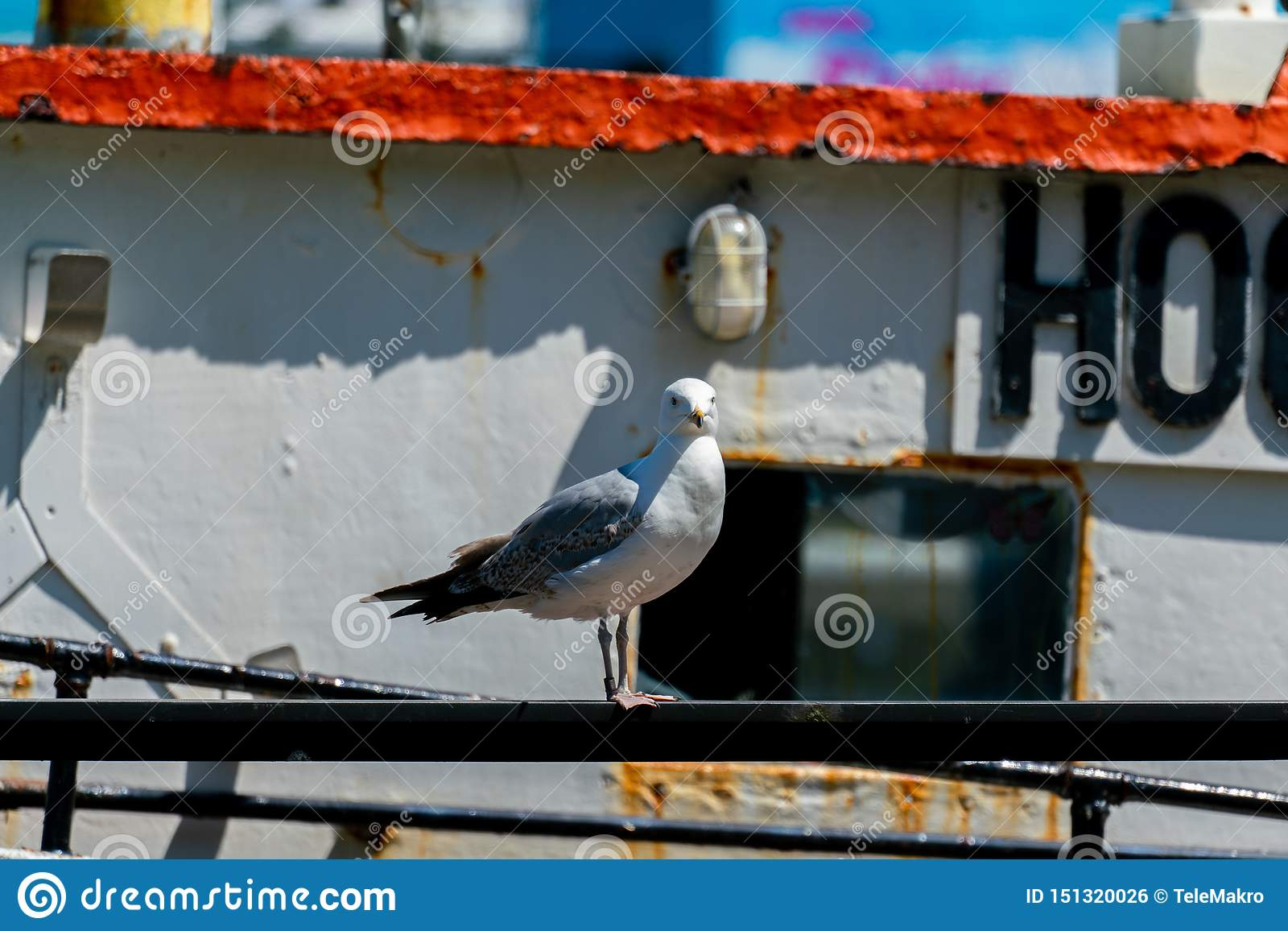 Potrait of a seagull on an old rusty ship
