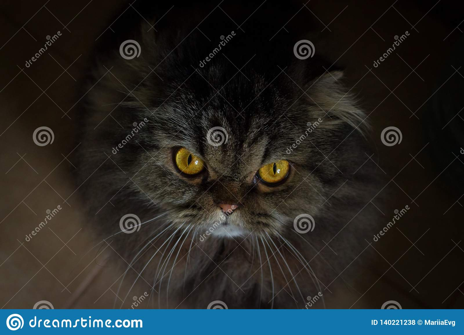 Portrait of serious angry gray scotish cat with orange eyes looking in camera