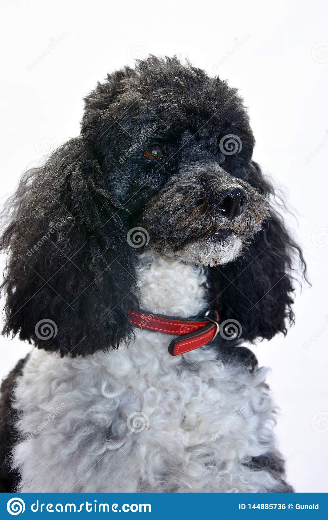 Harlequin poodle seven years  old