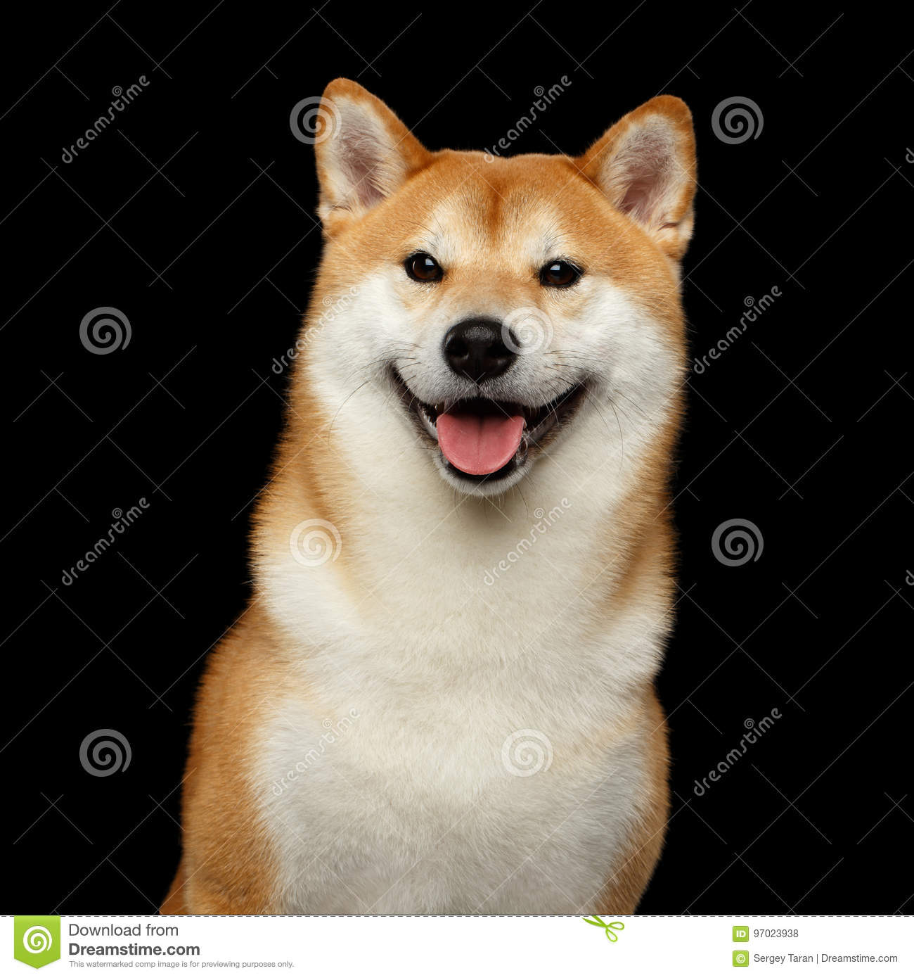 973 Shiba Inu Black Background Photos Free Royalty Free Stock Photos From Dreamstime