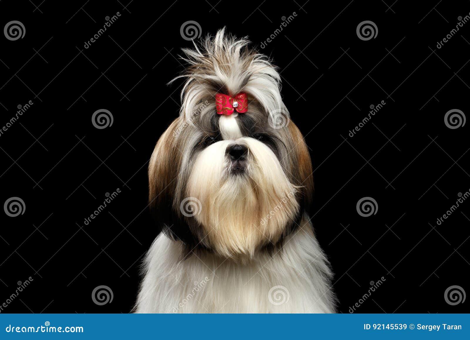 Portrait Of Shih Tzu Stock Image Image Of Furry Mammal 92145539