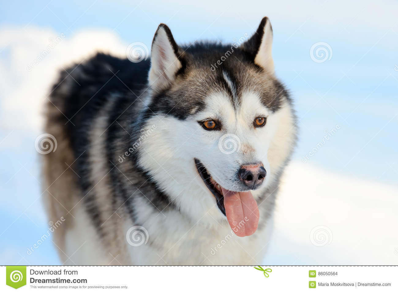 portrait of the siberian husky dog black and white color