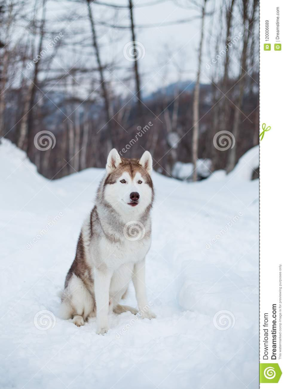 Portrait Of Siberian Husky Dog Sitting On The Snow In Winter Forest