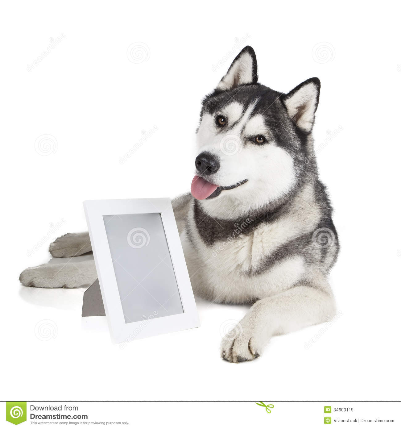 Portrait Of A Siberian Husky With Photo Frame Royalty Free