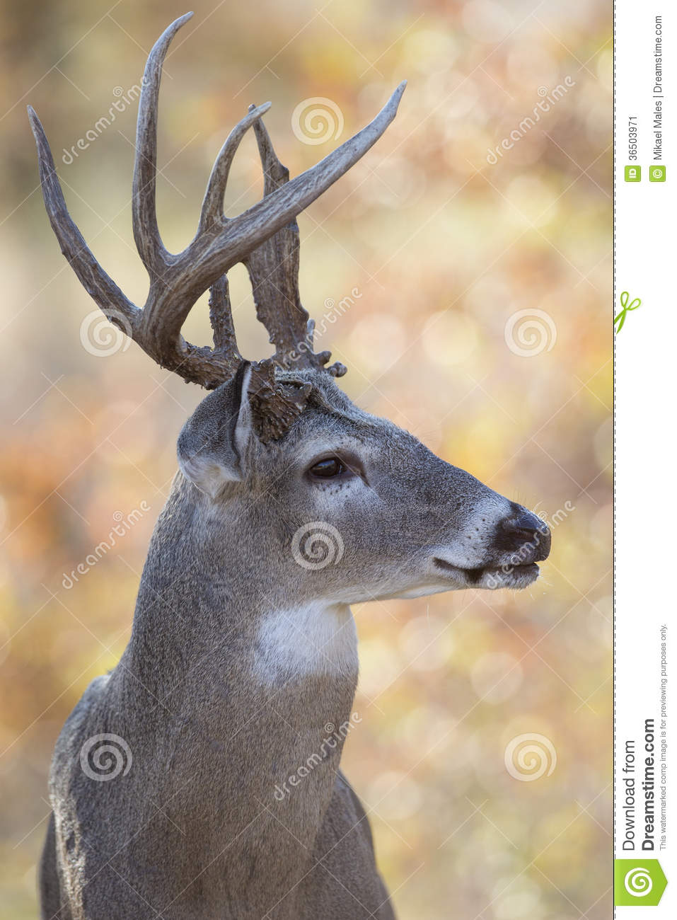Portrait Side View of Whitetail Buck