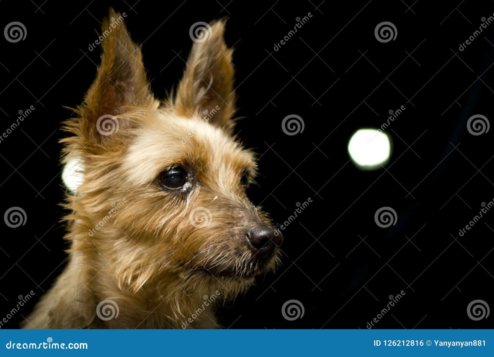 Silky Terrier Dog Portrait