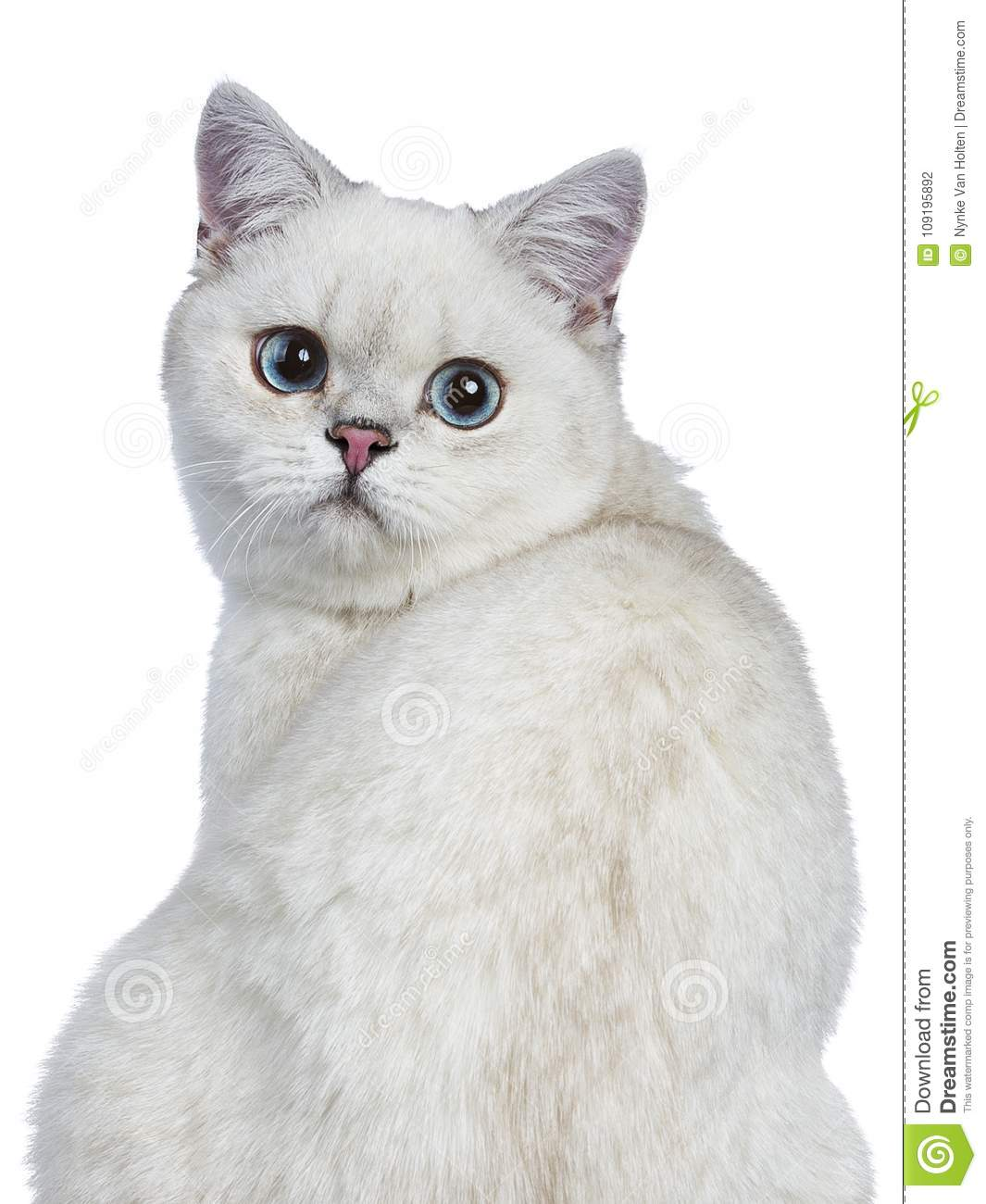 8df7987cb5 Portrait of silver tabby british shorthair cat   kitten looking over it s  shoulder isolated on white